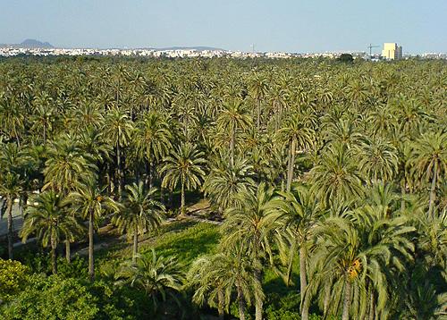 Elche palmebyen