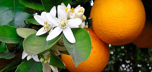 orangebloss_wb(1).jpg