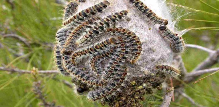 Større larveplage enn vanlig