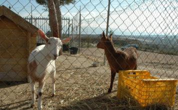 Også geitene trives på Lo Rufete utenfor San Miguel.